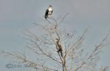 Osprey and Anhinga