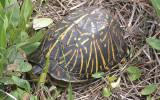 Florida Box Turtle - male