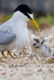 little tern mom and chick