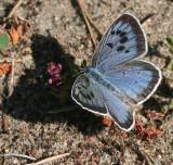 Swedish Blue Butterflies (Polyommatini)