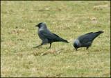Jackdaw, Kaja  (Corvus monedula).jpg