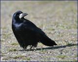 Rook, Råka  (Corvus frugilegus).jpg
