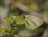 Swedish  Whites and Yellows  ( Pieridae)