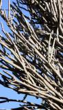 PLANT - ALLUAUDIA DUMOSA - BERENTY RESERVE MADAGASCAR (3).JPG