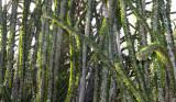 PLANT - ALLUAUDIA PROCERA - DIDIERACEAE -ANDOHAHELA NATIONAL PARK MADAGASCAR (2).JPG