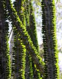 PLANT - ALLUAUDIA PROCERA - DIDIERACEAE -ANDOHAHELA NATIONAL PARK MADAGASCAR (6).JPG