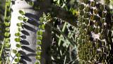 PLANT - ALLUAUDIA PROCERA  & ALLUAUDIA ASCENDENS - ANDOHAHELA NATIONAL PARK