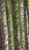 PLANT - ALLUAUDIA SPECIES - BERENTY RESERVE MADAGASCAR.JPG