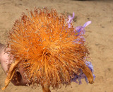 PLANT - BAOBAB - ADANSONIA GRANDIDIERI -  FLOWER - AVENUE DU BAOBABS MORONDAVA MADAGASCAR (2).JPG