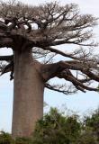 PLANT - BAOBAB - ADANSONIA GRANDIDIERI - AVENUE DU BAOBABS - KIRINDY NATIONAL PARK - MADAGASCAR (16).JPG