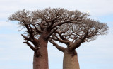 PLANT - BAOBAB - ADANSONIA GRANDIDIERI - AVENUE DU BAOBABS - KIRINDY NATIONAL PARK - MADAGASCAR (26).JPG