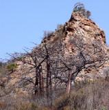 PLANT - BAOBAB - ADANSONIA MADAGASCARIENSIS - MADAGASCAR BAOBAB AND OTHER SPECIES - DIEGO SUAREZ MADAGASCAR (7).JPG