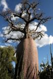 PLANT - BAOBAB - ADANSONIA RUBROSTIPA - BOTTLE BAOBAB - BERENTY RESERVE MADAGASCAR (10).JPG