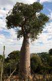 PLANT - BAOBAB - ADANSONIA RUBROSTIPA - LEAFED - ANDOHAHELA NATIONAL PARK MADAGASCAR (2).JPG
