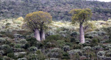 PLANT - BAOBAB - ADANSONIA RUBROSTIPA - LEAFED - ANDOHAHELA NATIONAL PARK MADAGASCAR (4).JPG