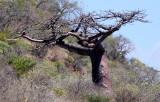 PLANT - BAOBAB - ADANSONIA SUAREZENSIS - MADAGASCAR BAOBAB AND OTHER SPECIES - DIEGO SUAREZ MADAGASCAR.JPG