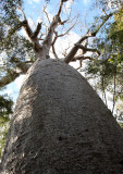 PLANT - BAOBAB - ADANSONIA ZA - LARGEST TREE IN KIRINDY - KIRINDY NATIONAL PARK MADAGASCAR (5).JPG