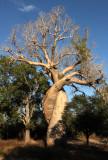 PLANT - BAOBAB - LOVERS - KIRINDY NATIONAL PARK MADAGASCAR (5).JPG