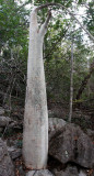 PLANT - CYPHOSTEMMA ROSEIGLANDULOSUM - ANKARANA NATIONAL PARK MADAGASCAR (4).JPG