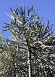 PLANT - EUPHORBIA CEDRORUM - BERENTY RESERVE MADAGASCAR (8).JPG