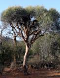 PLANT - EUPHORBIA ENTEROPHORA - ANDOHAHELA NATIONAL PARK - BASE CAMP (2).JPG