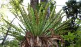 PLANT - FERN - APLENIUM NIDUS - BIRD'S-NEST FERN - MONTAGNE D'AMBRE NATIONAL PARK  (2).JPG