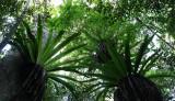 PLANT - FERN - APLENIUM NIDUS - BIRD'S-NEST FERN - MONTAGNE D'AMBRE NATIONAL PARK  (4).JPG