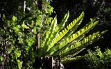 PLANT - FERN - APLENIUM NIDUS - BIRD'S-NEST FERN - MONTAGNE D'AMBRE NATIONAL PARK  (7).JPG