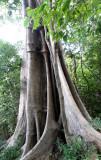 PLANT - FICUS SPECIES - FOREST GIANT - ANKARANA NATIONAL PARK MADAGASCAR (5).JPG