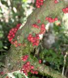 PLANT - FICUS SPECIES - MONTAGNE D'AMBRE NATIONAL PARK MADAGASCAR (3).JPG