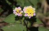 PLANT - LANTANA SPECIES - MONTAGNE D'AMBRE NATIONAL PARK MADAGASCAR (8).JPG