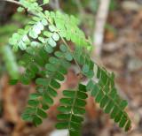 PLANT - LEGUMINOSAE - OPERCULICARYA DECARYI - KIRINDY NATIONAL PARK MADAGASCAR.JPG