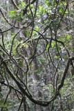 PLANT - LIANA SPECIES - MANTADIA NATIONAL PARK MADAGASCAR (2).JPG
