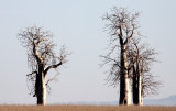 PLANT - MORINGA DROUHARDII - BERENTY RESERVE MADAGASCAR (2).JPG