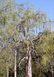 PLANT - MORINGA HILDEBRANDTII - BERENTY RESERVE MADAGASCAR (3).JPG