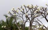 PLANT - PACHYPODIUM DECARYI - ANKARANA NATIONAL PARK MADAGASCAR (3).JPG