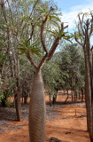 PLANT - PACHYPODIUM GEAYI - BERENTY RESERVE MADAGASCAR (2).JPG