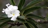 PLANT - PACHYPODIUM LAMEREI -  ANDOHAHELA NATIONAL PARK MADAGASCAR.JPG