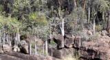 PLANT - PACHYPODIUM LAMEREI - ANDOHAHELA NATIONAL PARK MADAGASCAR - XEROPHYTIC PLANT COMMUNITY (2).JPG