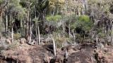 PLANT - PACHYPODIUM LAMEREI - ANDOHAHELA NATIONAL PARK MADAGASCAR - XEROPHYTIC PLANT COMMUNITY (4).JPG