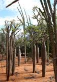 PLANT - PACHYPODIUM SPECIES - BERENTY RESERVE MADAGASCAR (6).JPG