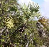 PLANT - PALM - HYPAENE SHATAN - ANKARANA NATIONAL PARK MADAGASCAR.JPG