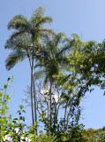 PLANT - PALM SPECIES - ANKARANA NATIONAL PARK MADAGASCAR (3).JPG