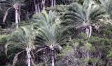 PLANT - PALM SPECIES - TREE PALM - ANDOHAHELA NATIONAL PARK (2).JPG