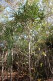 PLANT - PANDANUS PRISTIS - ANKARANA NATIONAL PARK MADAGASCAR.JPG