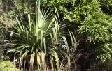 PLANT - PANDANUS SPECIES - ANDOHAHELA NATIONAL PARK MADAGASCAR (2).JPG