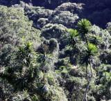 PLANT - PANDANUS SPECIES - MONTAGNE D'AMBRE NATIONAL PARK MADAGASCAR.JPG
