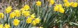 AMARYLLIDACEAE - NARCISSIS SPECIES - DAFFODILS - LAKE FARM TRAILS (4).JPG
