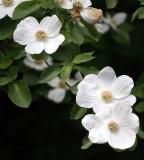 CORNACEAE - CORNUS NUTTALLII - WESTERN FLOWERING DOGWOOD - LAKE SUTHERLAND WA (6).JPG