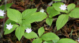 PRIMULACEAE - TRIENTALIS LATIFOLIA - STAR FLOWER - LAKE FARM TRAILS.JPG